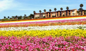 The Flower Fields, Carlsbad, California.